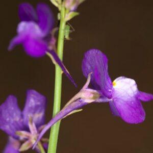 Linaria incarnata (Vent.) Spreng.