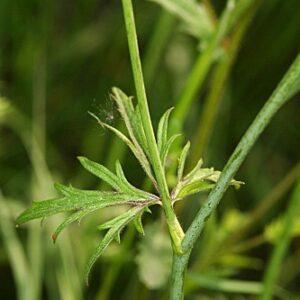 Ranunculus acris subsp. despectus M. Laínz