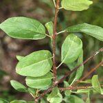 Rhamnus cathartica L.