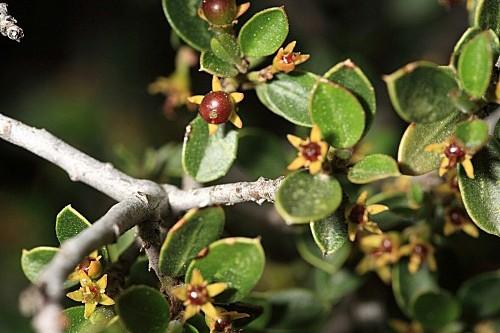 Rhamnus myrtifolia Willk.