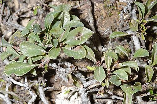 Rhamnus pumilus Turra