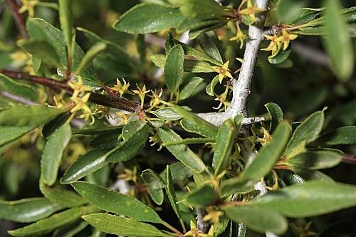 Rhamnus saxatilis Jacq.