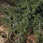 Rhamnus velutina subsp. almeriensis Rivas Mart. & J.M. Pizarro