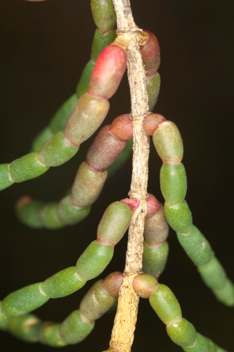 Sarcocornia fruticosa (L.) A. J. Scott