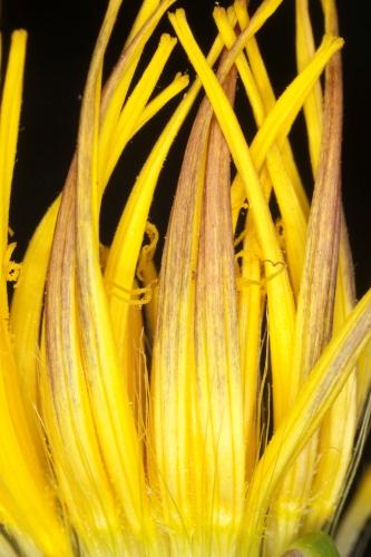 Scorzonera baetica (Boiss.) Boiss.
