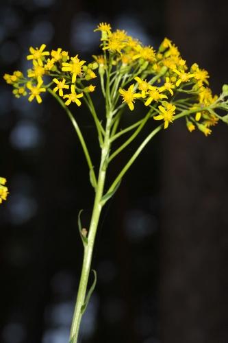Senecio doria L. subsp. laderoi (C. Pérez, M. E. García & A. Penas) Blanca