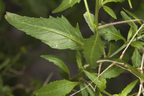Sisymbrium orientale L.