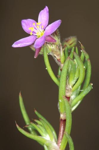 Spergularia fimbriata Boiss. & Reut.